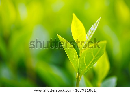 Green tea bud and fresh leaves. Tea plantations. Small depth of field.