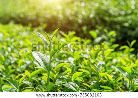 Green tea bud and leaves. Green tea plantations and sunny in morning.
