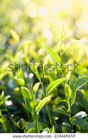 Green tea bud and leaves. Tea plantations, chiangrai, thailand - stock photo