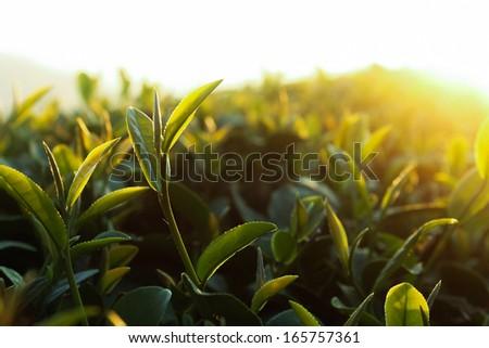 Green tea bud. Fresh tea leaves on morning. Tea plantations. Thailand - stock photo