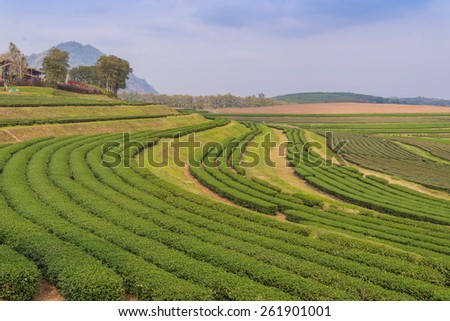 green tea farm on the hill at north of thailand. - stock photo