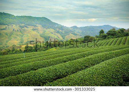 Green tea farm with blue sky background