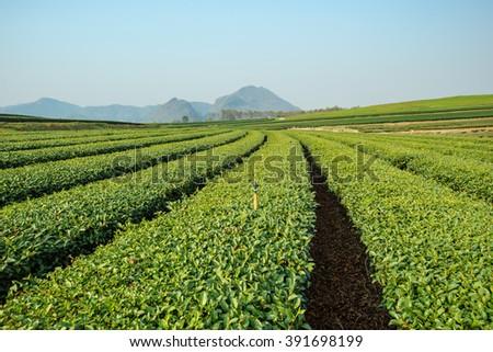 Green tea farm with blue sky background - stock photo