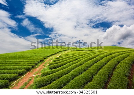 Green tea farm with blue sky background - stock photo