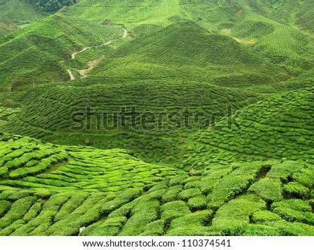 green tea field - stock photo