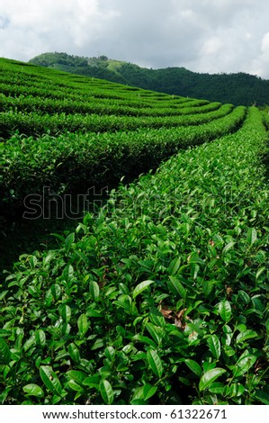 Green tea field, Chiangrai, Northern of Thailand - stock photo