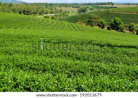 green tea filed in Thailand - stock photo