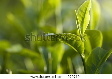 green tea leaf early morning with ray of lights - stock photo