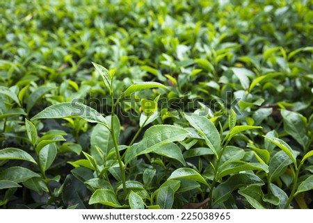 Green tea leaf on field in Vietnam - stock photo