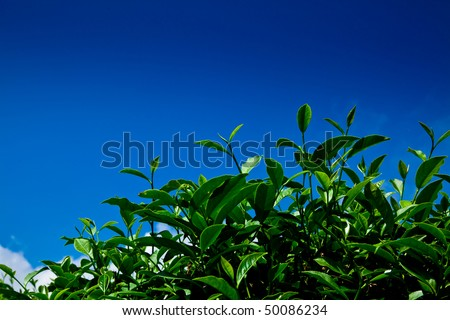 Green tea leaf with blue sky background - stock photo