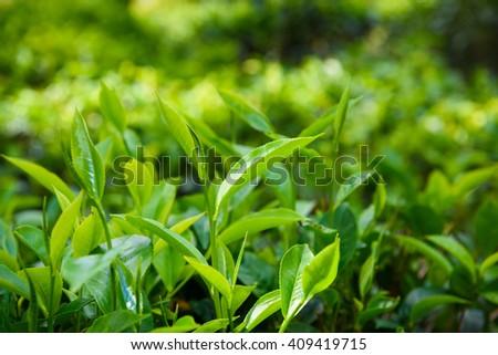Green tea leaves and pekoe buds on tea plantation - stock photo