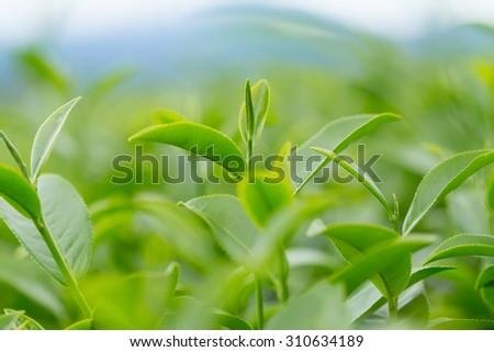 Green tea leaves in a tea plantation. - stock photo