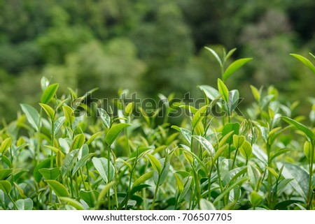 Green tea leaves in a tea plantation in Chiang Mai, North of Thailand.
