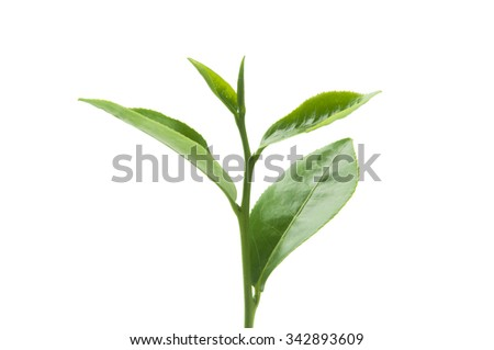Green tea leaves isolated on white background.  - stock photo