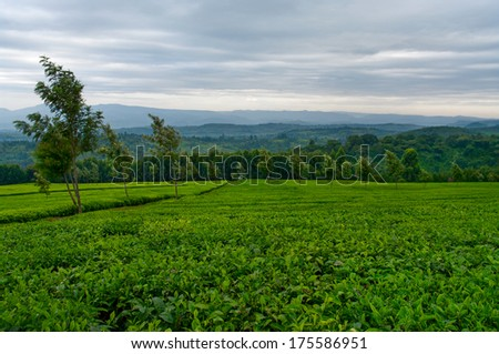 Green tea on the tea plantations. Kenya - stock photo