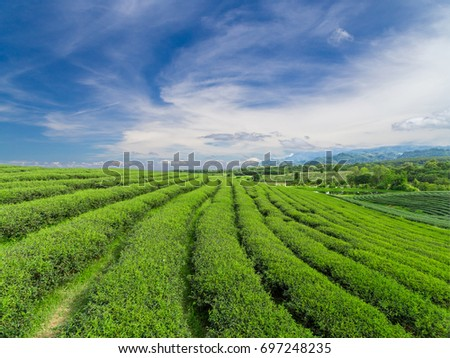 Green tea plantation fresh on the morning have blue sky background.