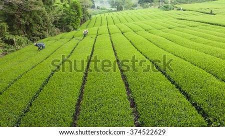 Green tea plantation in Japan - stock photo