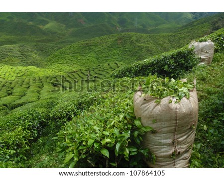 green tea plantation landscape - stock photo
