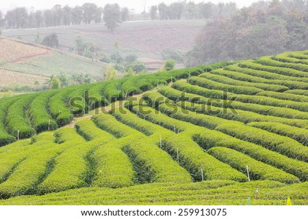green tea plantation landscape,during the raining period.  - stock photo