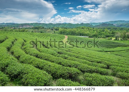 Green tea plantation landscape, in Thailand