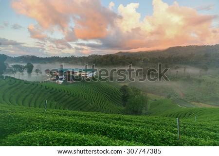 Green tea plantation with a beautiful sky. - stock photo