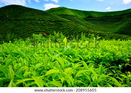 Green Tea Plantations - stock photo