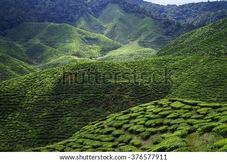 Green tea plantations Cameron Highlands in Malaysia - stock photo