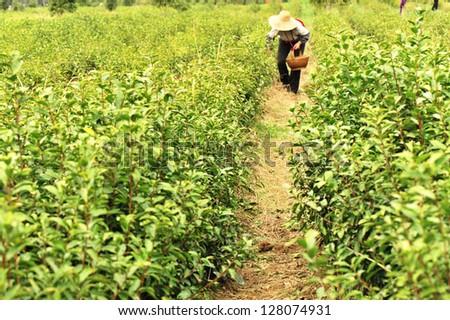 green tea tree - stock photo