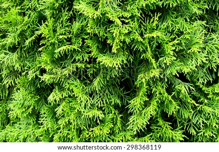 Green Thuja natural background - stock photo