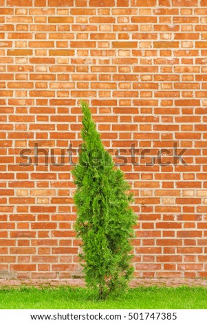 Green thuja on a background of red brick wall