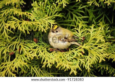 Green thuya tree with a small bird Goldcrest (Regulus regulus) in it