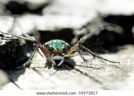 Green Tiger Beetle (Cicindela campestris) frontal portrait - stock photo