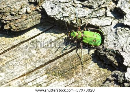 Green Tiger Beetle (Cicindela campestris) on a tree trunk - stock photo