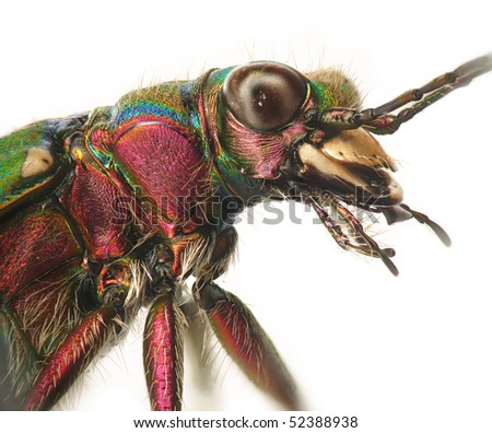 Green tiger beetle closeup - stock photo