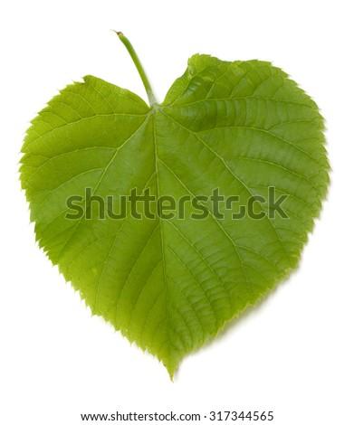 Green tilia leaf. Isolated on white background. - stock photo
