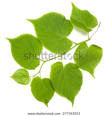 Green tilia leafs isolated on white background - stock photo