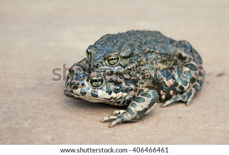 Green toad (Bufo viridis) - stock photo