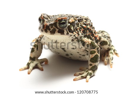 green toad (Bufo viridis)  isolated on white background