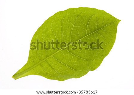 green tobacco leaf isolated on the white background - stock photo