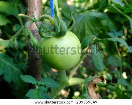 Green tomato - stock photo
