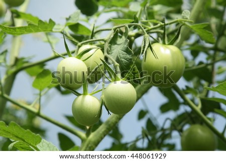 green tomato on a branch
