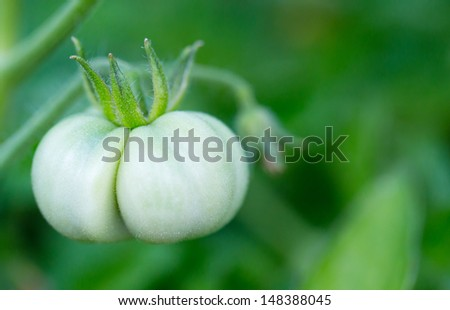 Green tomato on the vine - stock photo