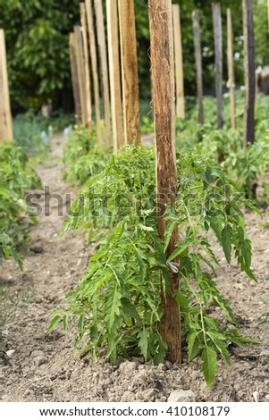 Green tomato plant growing in the garden - stock photo
