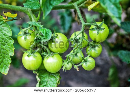 Green tomatoes. - stock photo