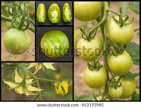 Green tomatoes collage. Agriculture concept. Sales of agricultural crops. - stock photo