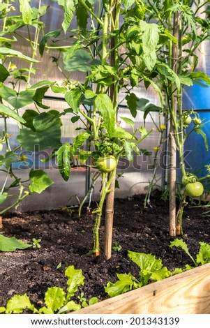 Green tomatoes growing in greenhouse in garden