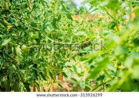 green tomatoes in the garden, in a greenhouse, soft focus