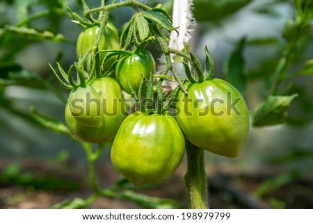 Green tomatoes on a bush. - stock photo