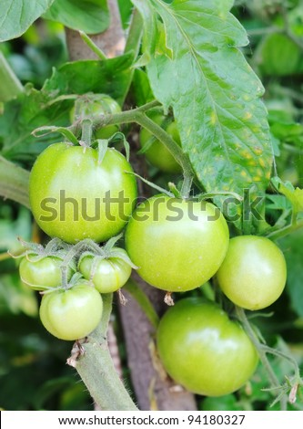 Green tomatoes on the bush. Ripening tomatoes.
