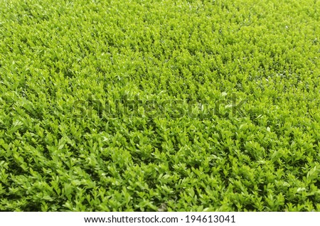 Green top of boxwood (binomial name: Buxus) growing as a large hedge in a formal garden in spring, northern Illinois, USA - stock photo